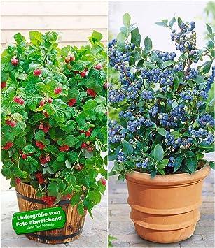 Außergewöhnlich BALDUR-Garten Topf-Heidelbeere 'Blue Parfait®'& Topf-Himbeere @PH_94