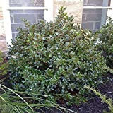 "'Blue Prince' Holly - Ilex - Hardy Broadleaf Evergreen - 4"" Pot"