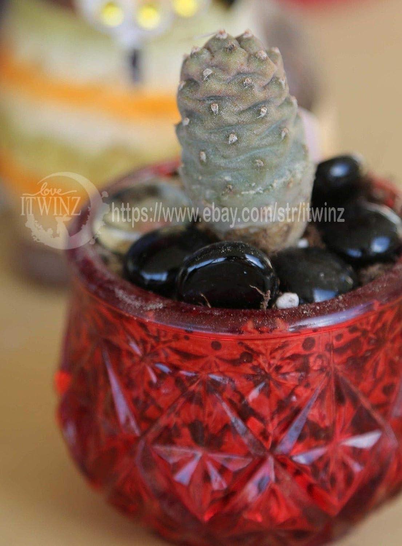 Amazon.com: Cactus de cono de pino de 2.0 in con cactus ...