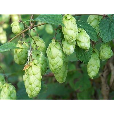 TkPlus1 1440 Seeds Humulus lupulus, Perennial Vine Seeds: Home & Kitchen