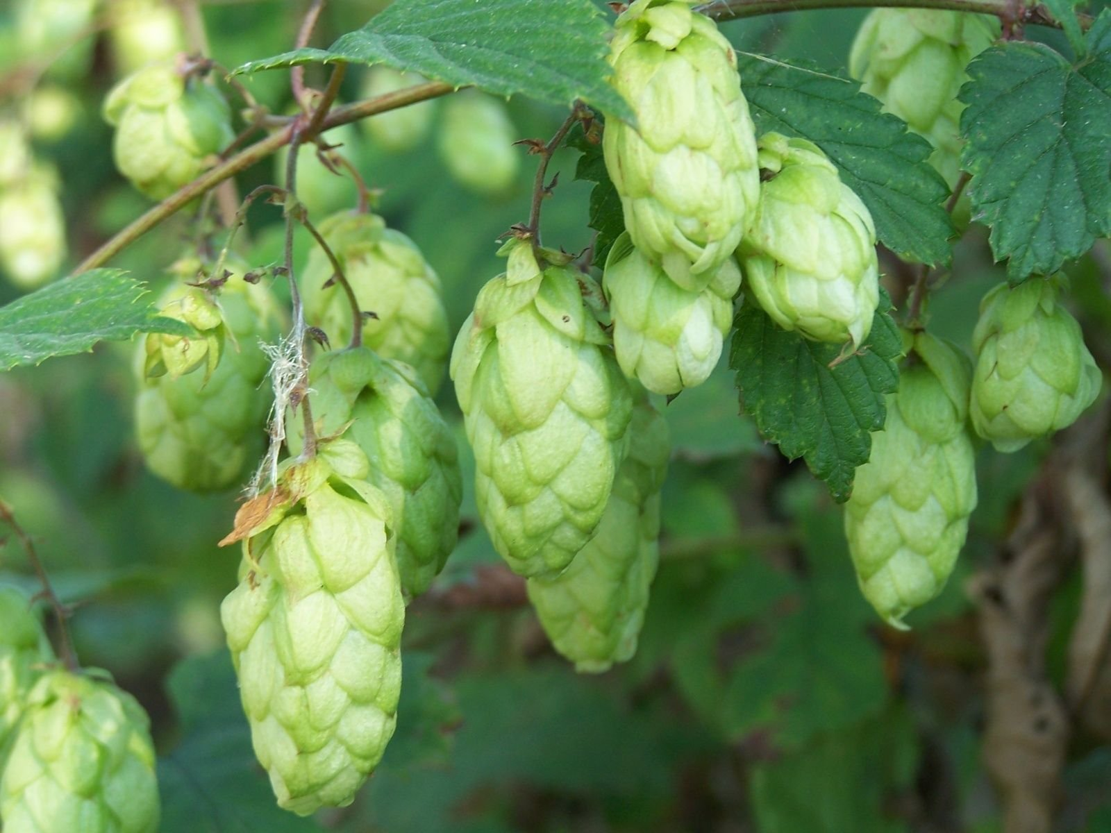 TkPlus1 1440 Seeds Humulus lupulus, Perennial Vine Seeds