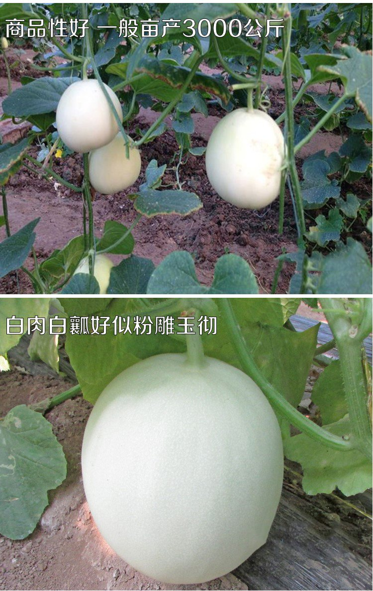 2018 Hot Sale!! Maslin Sweet Melon Hybrid Oval Fruit Seeds, 200 Seeds, Original Pack, White Skin Light Green Inside Crisp Tasty 17% Sugar by Maslin Seeds