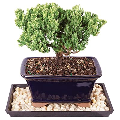 """Brussel's Live Green Mound Juniper Outdoor Bonsai Tree - 4 Years Old; 6"""" to 8"""" Tall with Decorative Container, Humidity Tray & Deco Rock: Garden & Outdoor"""
