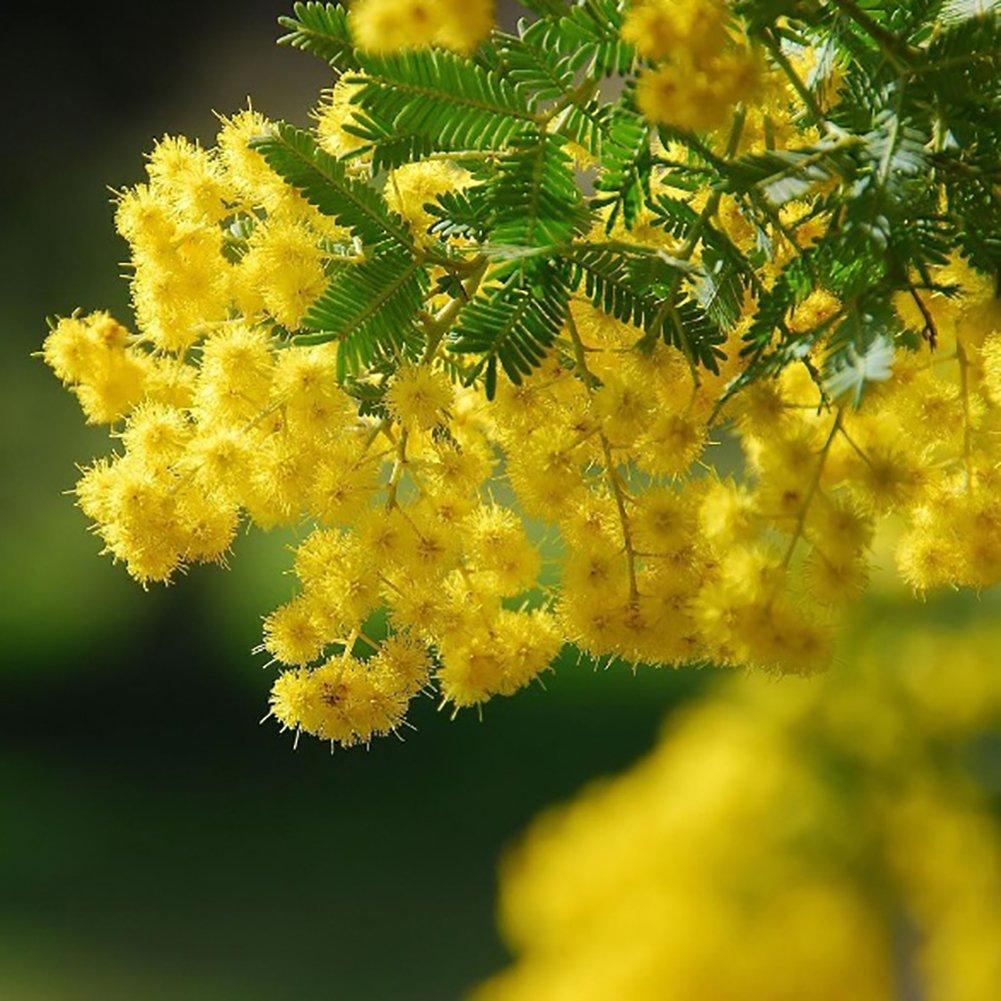 Amazon Eroute66 50 Golden Mimosa Seeds Acacia Baileyana Yellow