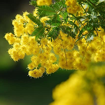 Amazoncom 50 Golden Mimosa Seeds Acacia Baileyana Yellow Wattle
