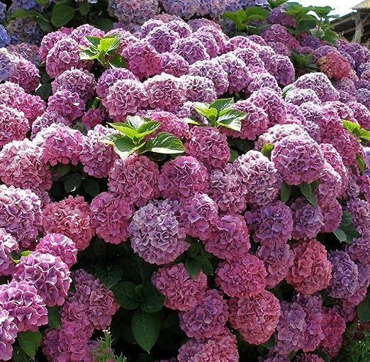 Kisshes Seeds- 20pcs / Pack Semillas de Hortensia Bonsai Semillas ...