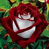 100Pcs/ Paquet Osiria Graines Rares De Fleurs Jolies De Rose Rouge Et Blanc Pour Jardin Maison Famille