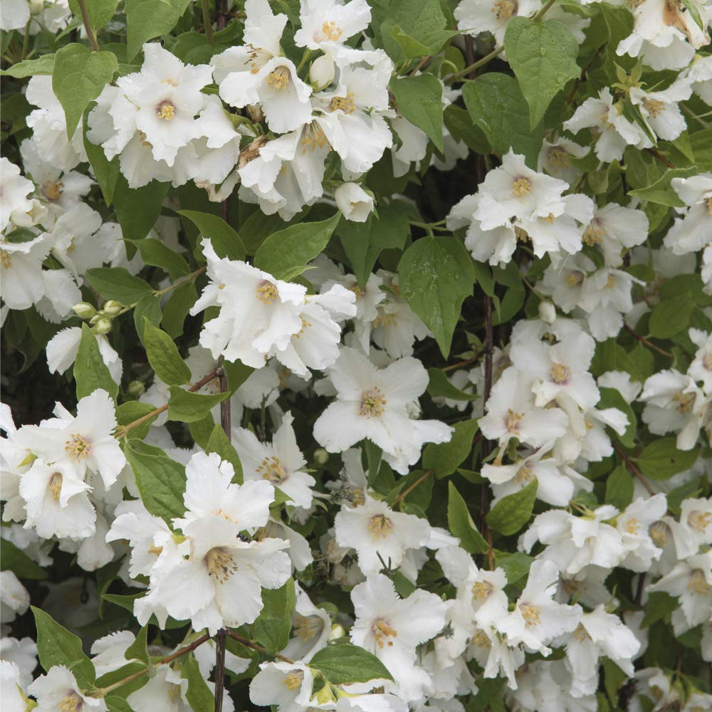 Philadelphus /'Belle Etoile/' Patio and Containers Fences Potted Garden Plants Ideal for Walls Thompson /& Morgan Hardy Flowering Shrub 1 x 9cm Pot
