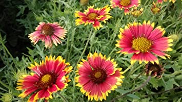 Amazon Gaillardia Aristata Common Blanketflower Perennial