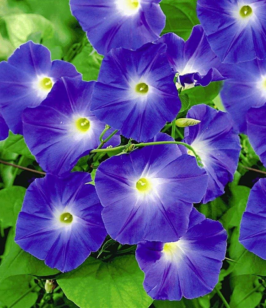 Baldur Garten Trichterwinde Blue Hardy 1 Pflanze Ipomoea Indica