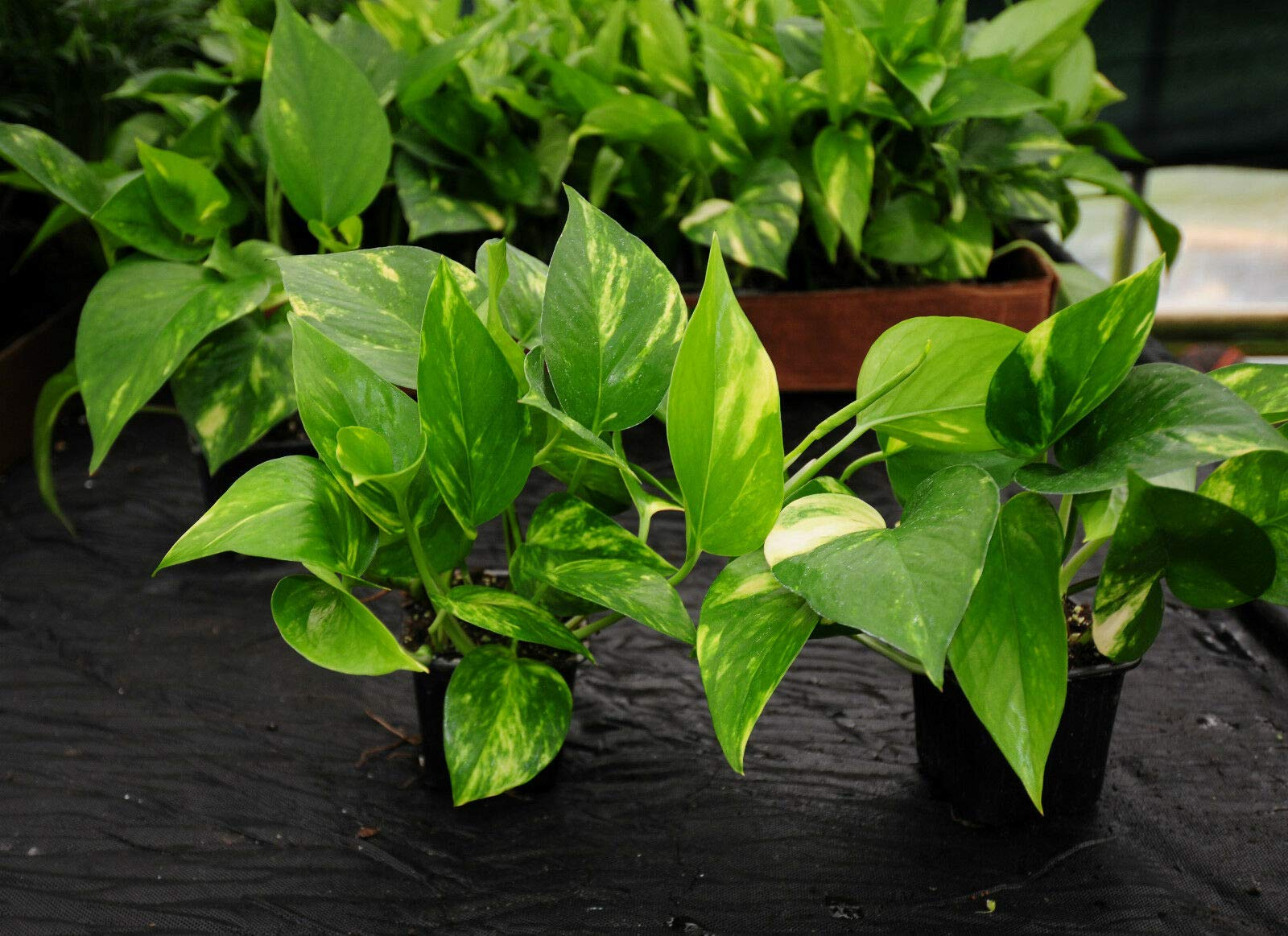 (4) Beautiful Golden Pothos~Large 3'' Shipped in Pot~Tropical Vining Houseplant (Premium Quality) by AY-Premium