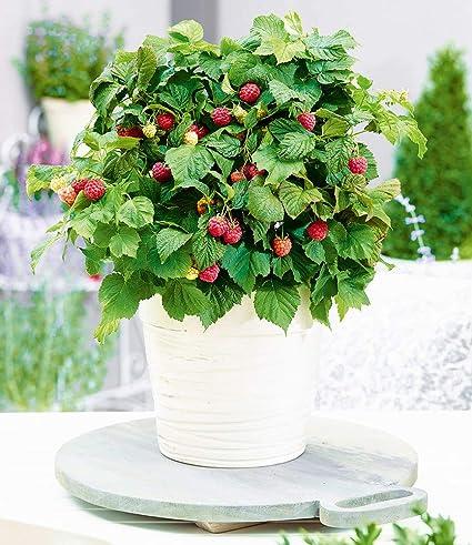 Baldur Garten Topf Himbeerebonbonberry Yummy1 Pflanze Himbeeren
