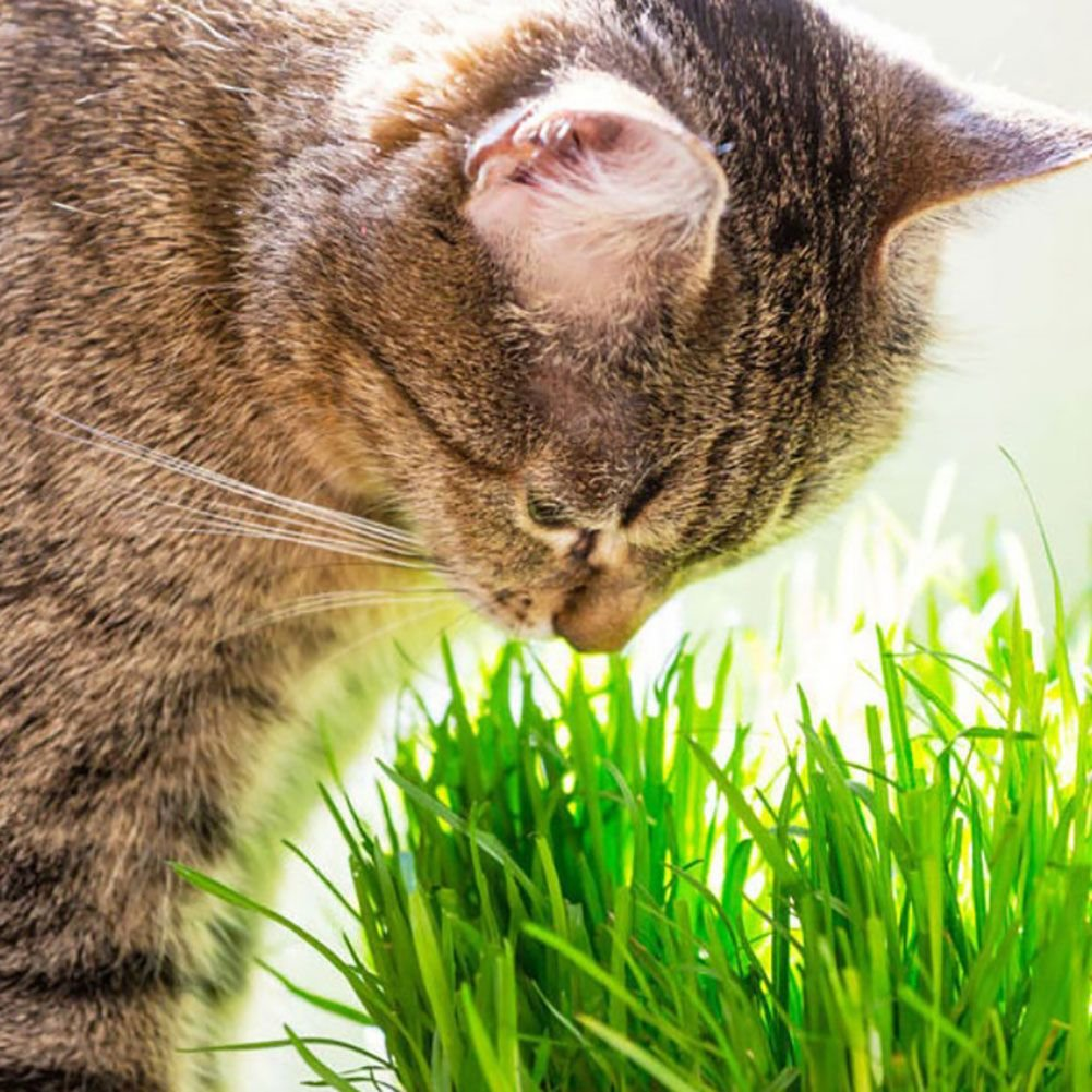 PanDaDa Cat Grass Seeds Natural Hairball Control Grass Hairball Remedy for Cats