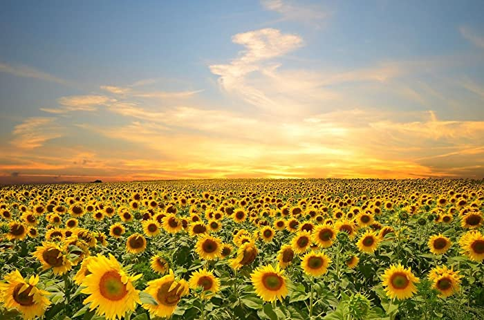 Gifts Delight Laminated 36x24 Poster: Sky, Sunset, Flowers, Sunflowers, Clouds, Flowers Field, Nature, Petals, Splendor s