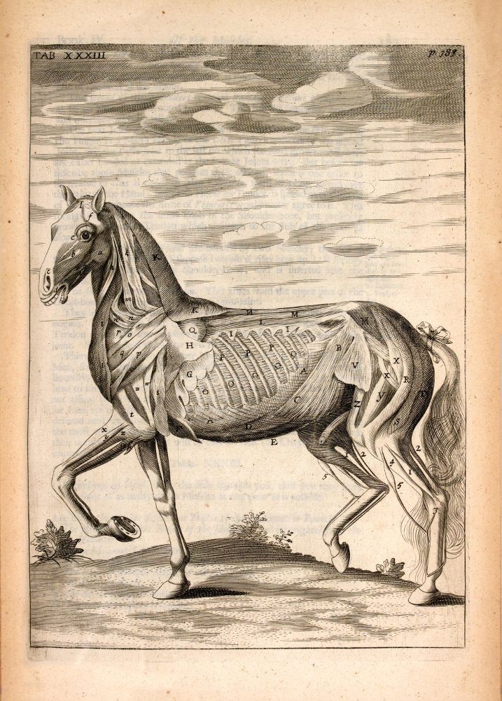Vintage Anatomy Horse Muscles Side View From The Anatomy Of The