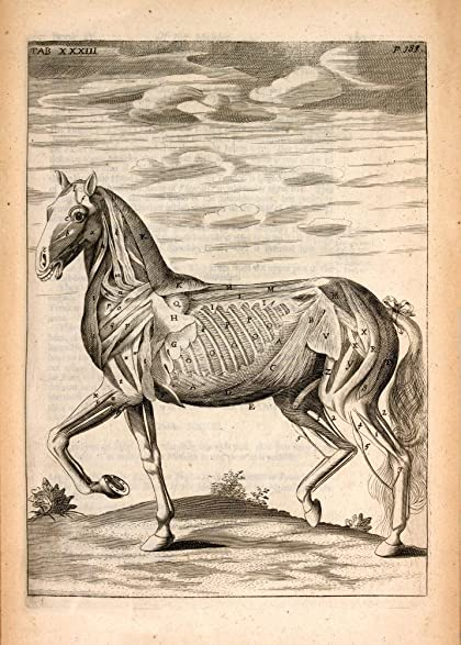 Amazon Vintage Anatomy Horse Muscles Side View From The Anatomy