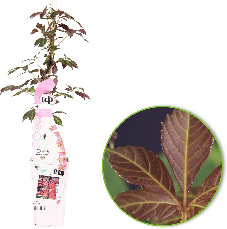 Set of Virginia Creepers Climbing Plants Height 65-75cm Pot /Ø 15cm 2X Parthenocissus henryana