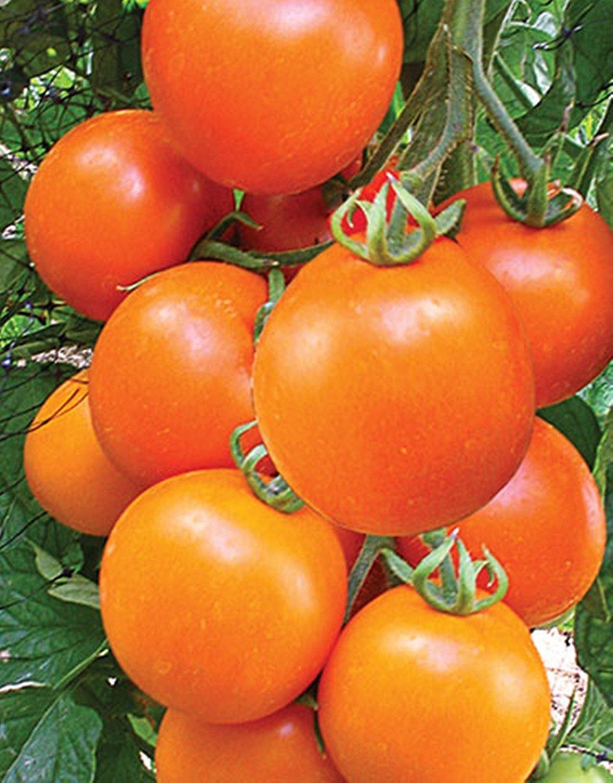 オレンジトマト種子Kolyadnik後期ウクライナ家宝NON-GMO B075KLRRBG