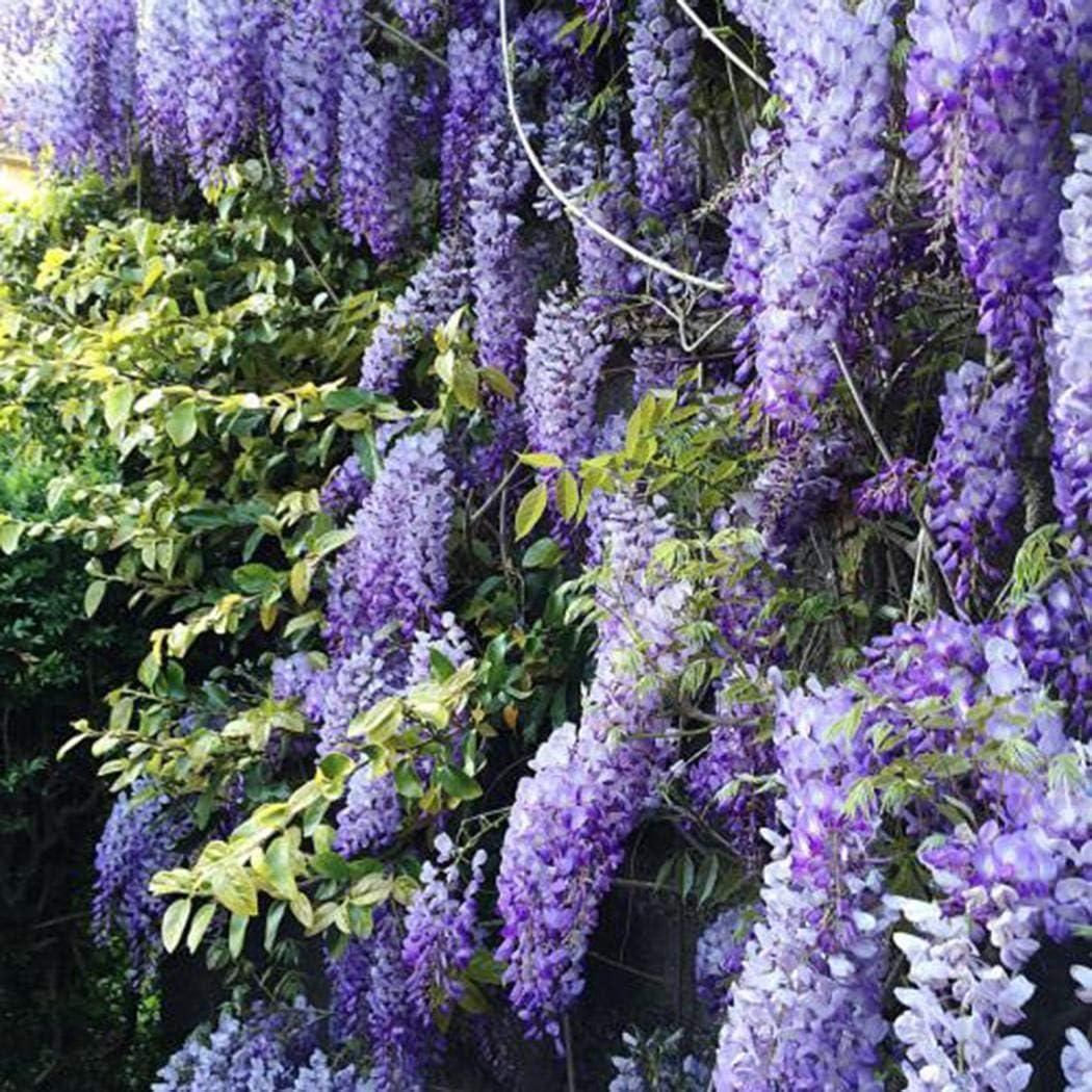 exotische Blüten Rarität Bonsai seltene Garten Balkon Pflanze WISTERIA