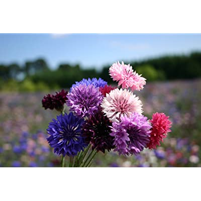 "Bachelor Button""Dwarf Polka Dot Mix"" Flower Seeds- 200+ Premium Heirloom Seeds, Colorful & Beautiful! Centaurea Cyanus - (Isla's Garden Seeds), 80-85% Germination Rates, Highest Quality Seed : Garden & Outdoor"