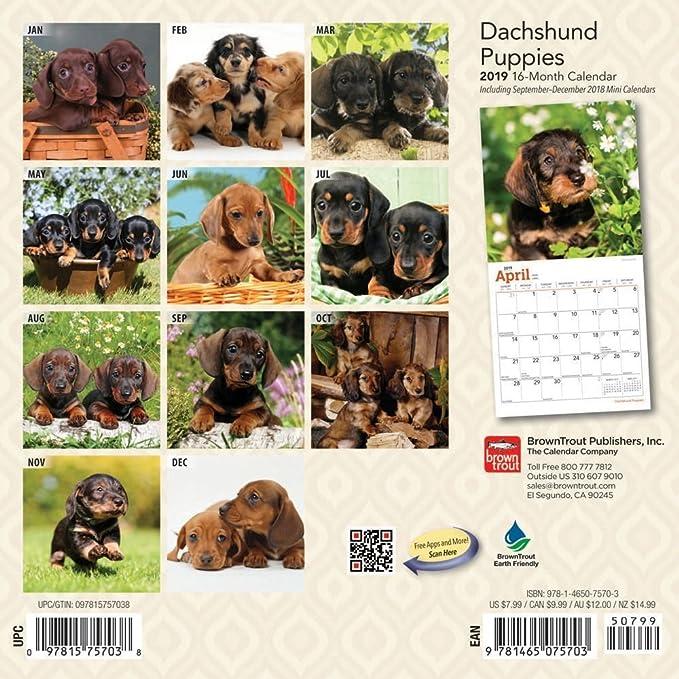 2019 Dachshund Puppies Mini Wall Calendar, Dachshund by BrownTrout