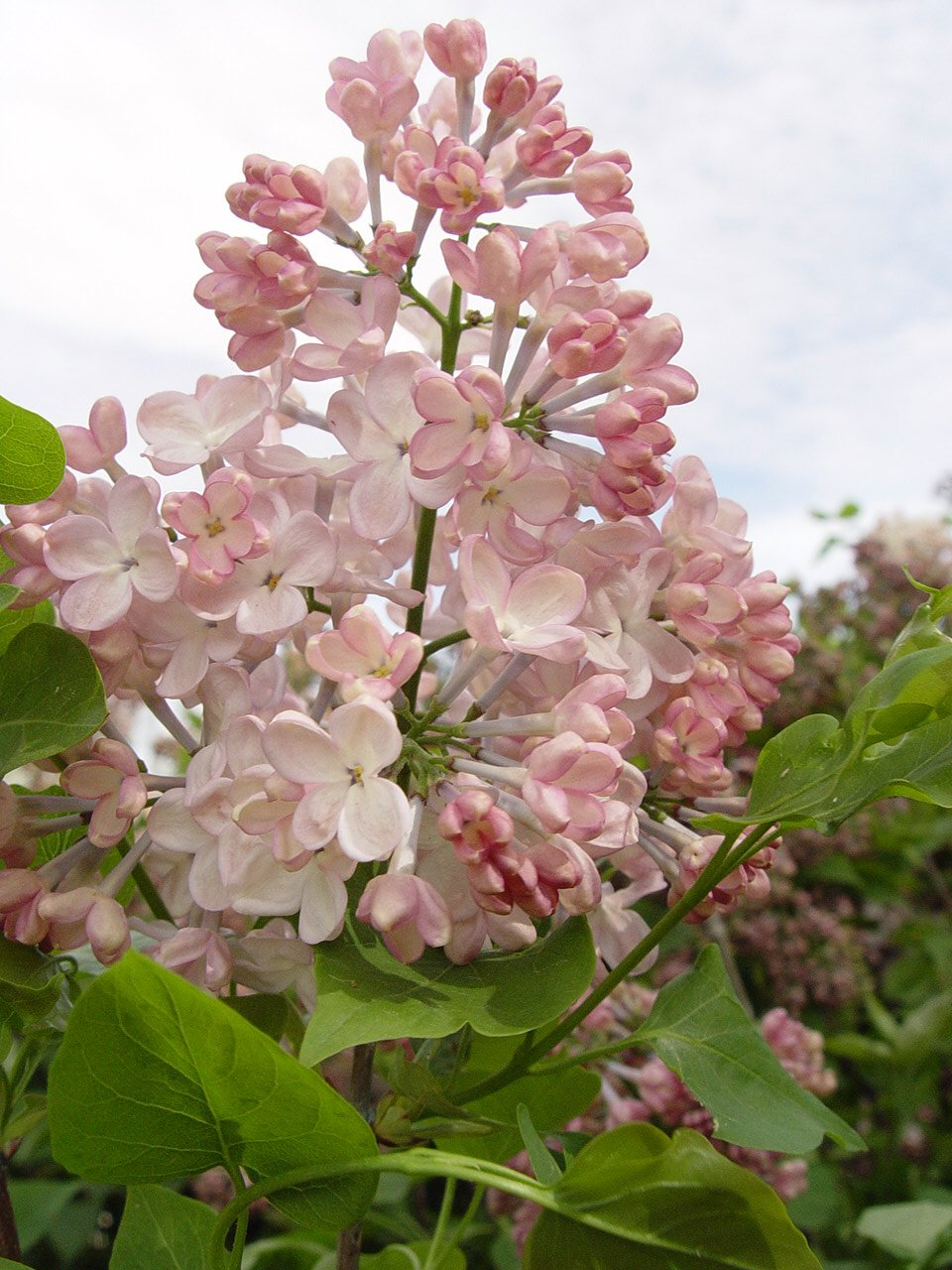 Syringa X hya. 'Maiden's Blush' (Lilac) Shrub, Light Pink Flowers, 3 - Size Container