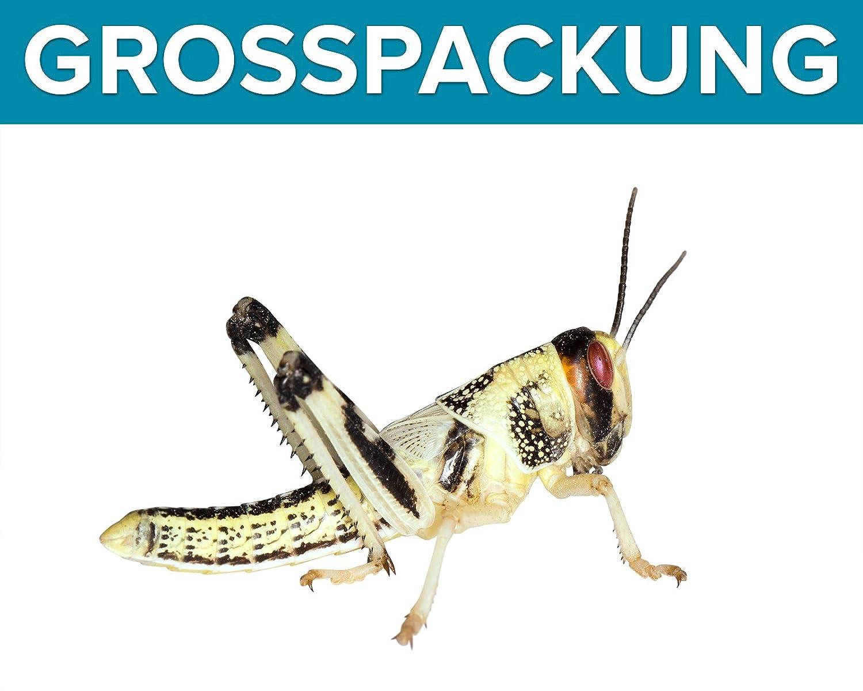 Heuschrecken 100 mittel Wüstenheuschrecken Futterinsekten Reptilienfutter Feeders & more