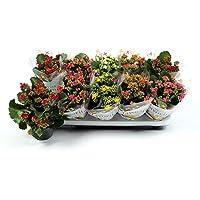 Pack de 10 Kalanchoe Plantas de Interior Naturales con Flores Mix Colores Surtidos