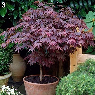 Ywbtuechars Maple Tree Seeds, 20Pcs Maple Tree Seeds Ornamental Plant Home Garden Bonsai Yard Street Decor, Can Survive in Any Soil Environment - 3# Maple Tree Seeds : Garden & Outdoor
