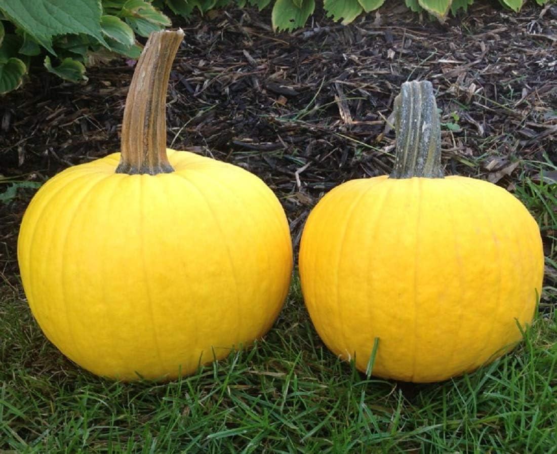 David's Garden Seeds Pumpkin Sunlight 8442 (Yellow) 25 Non-GMO, Hybrid Seeds