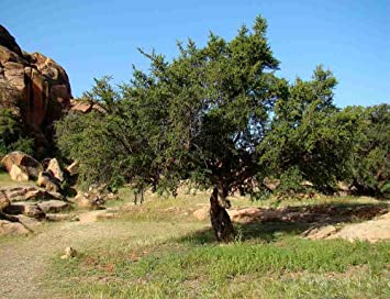 Asklepios-seeds/® Pinus sibirica 25 Samen Sibirische Zeder//Zirbelkiefer