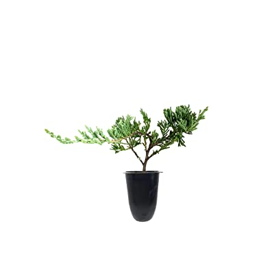 Juniper Bar Harbor - 50 Live Plants - Juniperus Horizontalis - Drought Tolerant Cold Hardy Evergreen Ground Cover : Garden & Outdoor