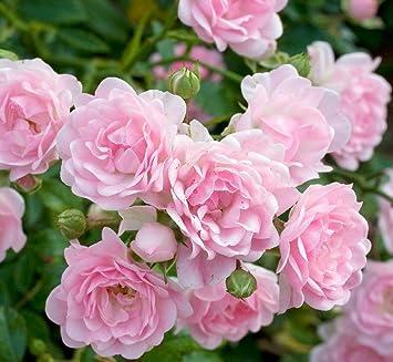 10 Pflanzen Wunderschone Rosa The Fairy Bodendecker Rosen Ca 30cm