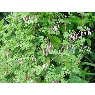Allegheny Vine Seeds - AKA Mountain Fringe, Climbing Fumitory,, Adlumia fungos(300 Seeds): Kitchen & Dining