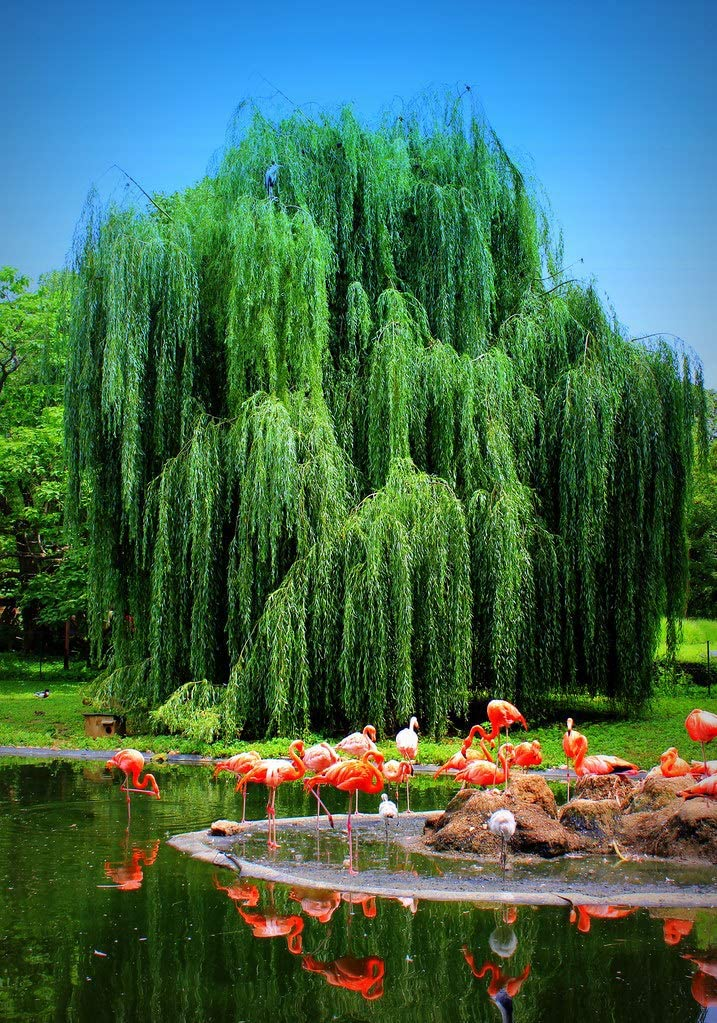 Amazon.com : 1 Weeping Willow Tree - Live Tree Plant Cutting - Memorial  Gift - Beautiful Arching Canopy Add Peace and Serenity - Grieving Gift- Pet  Memorial : Garden & Outdoor