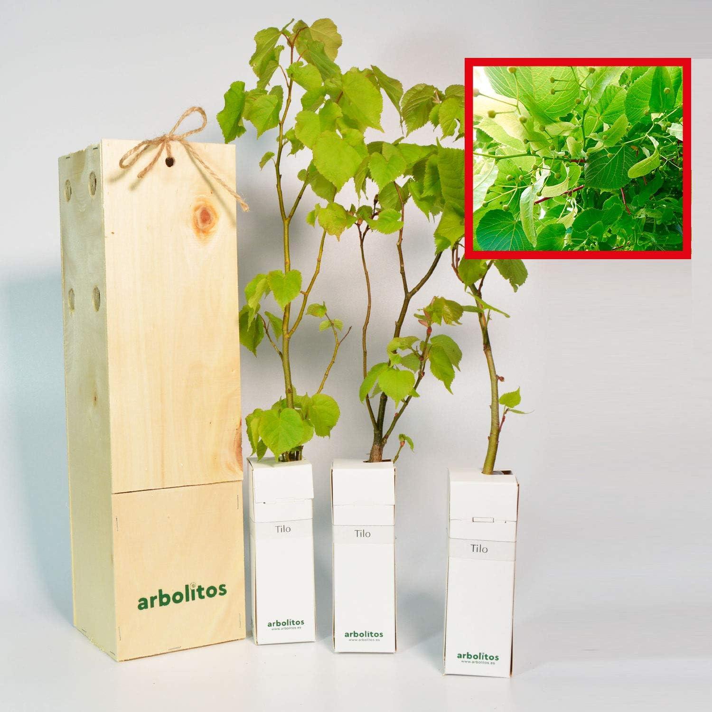 TILO - arbolito de pequeño tamaño en caja de madera - Ideal para regalo (3)