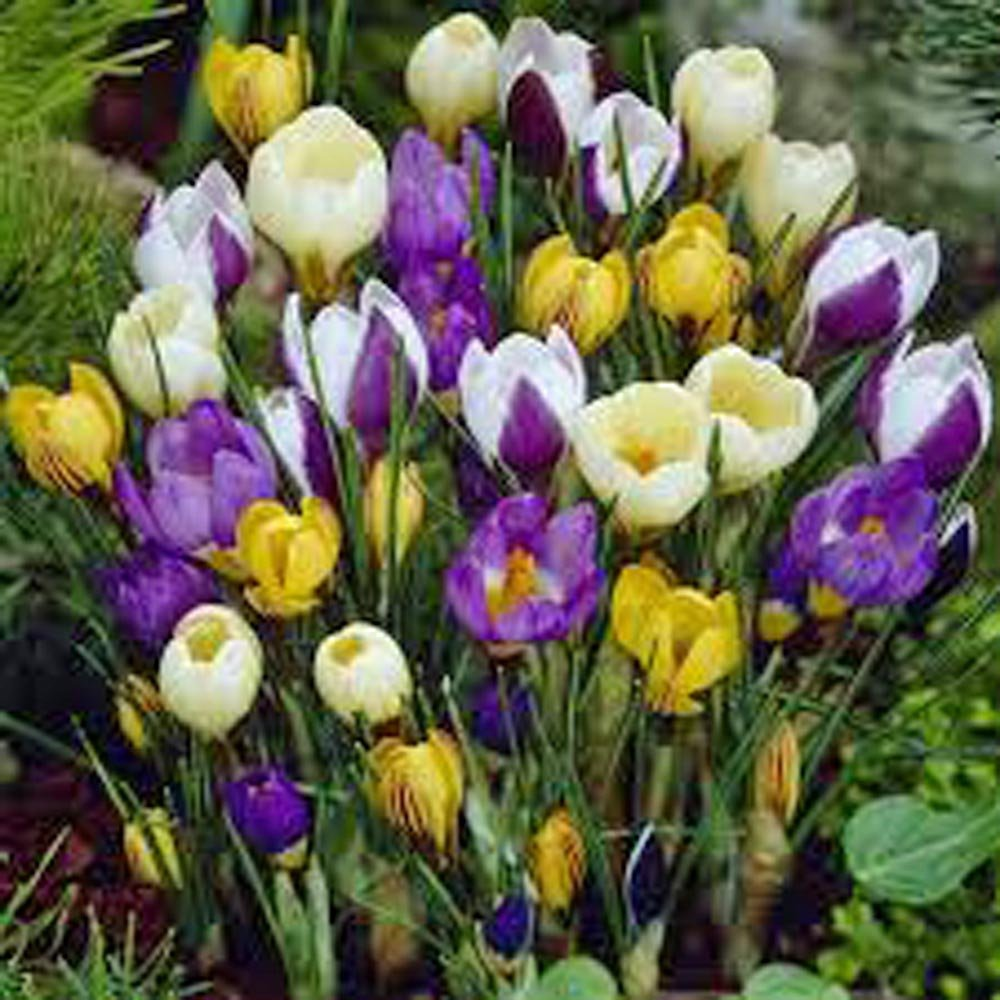 Crocus Species Mix (20 Bulbs) Purple, White, Yellow Perennial Bulb Mix by Country Creek Acres