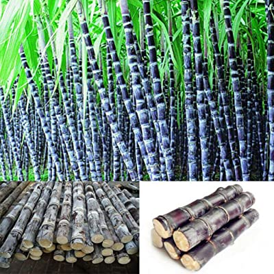 XKSIKjian's Garden, 100Pcs Sugarcane Seed Delicious Juicy Fruit Farm Organic Ornamental Plant Home Decor Non-GMO Open Pollinated Seeds for Planting - Sugarcane Seeds : Garden & Outdoor