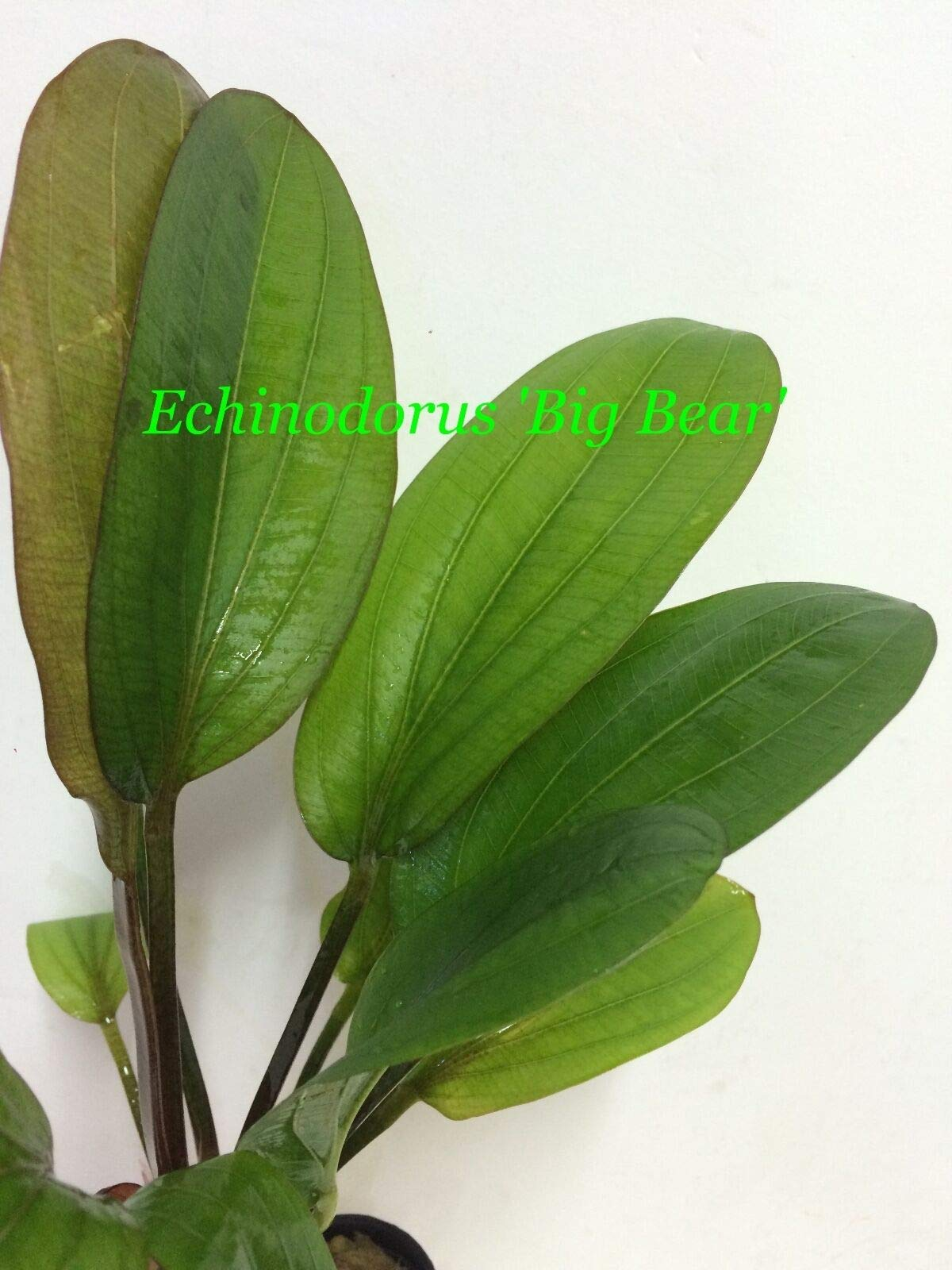 Healthy Live Aquatic Fresh Water Plant Echinodorus 'Big Bear' Potted P180 jKE -104