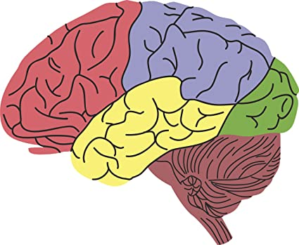 Amazon Cool Simple Color Coded Regions Of Anatomical Brain