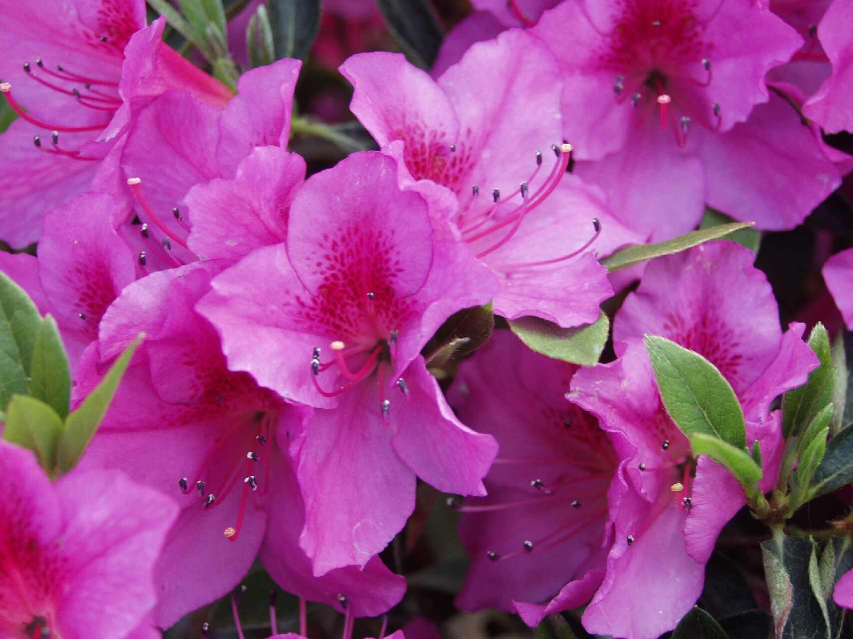 Azalea Rhododendron 'Formosa' Qty 40 Live Flowering Evergreen Plants