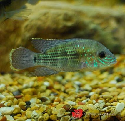 Amazon Com Worldwidetropicals Live Freshwater Aquarium Fish 4