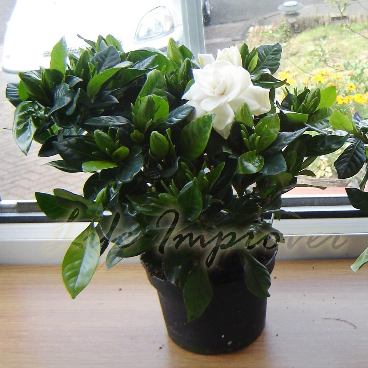 1 SCENTED GARDENIA JASMINE EVERGREEN INDOORN HOUSE PLANT IN POT GARDEN - 15-20cm Tall (Including Pot) Life Improver