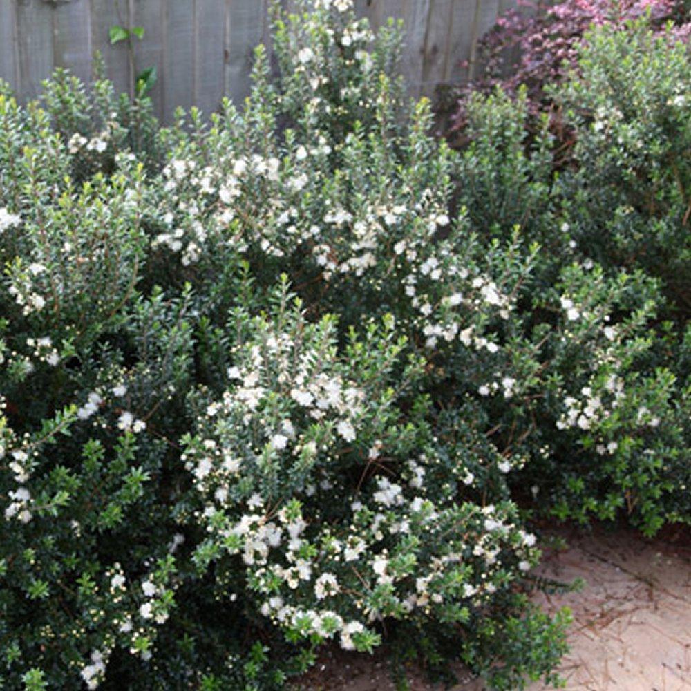 1 Myrtus Tarentina Tarentum, mito siempre verde, arbusto resistente, planta de jardín en maceta.: Amazon.es: Jardín