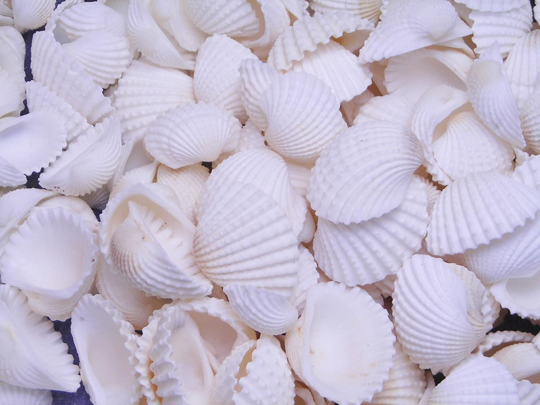 Ark Shells-Baby Ark Shells-Mini Shells for Crafting-Small Shells Bulk-Beach Wedding Decor-Beach Home Decor-White Shells Bulk-Crafting Shells