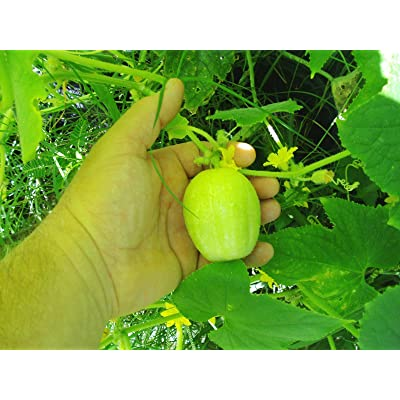Lemon Cucumbers Seeds (40 Seed Pack) : Garden & Outdoor