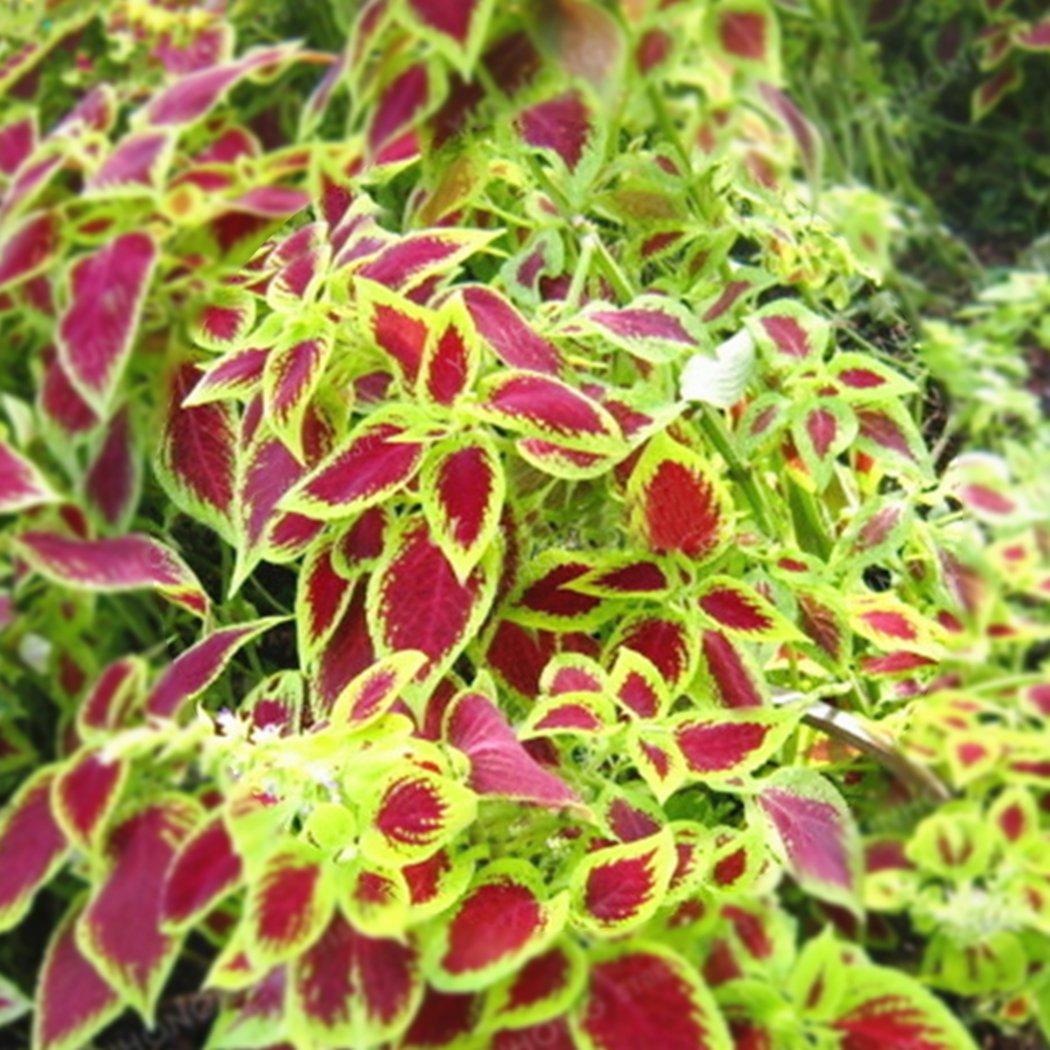 mymotto 100/pcs//Bolsa Coleus Semillas Bonsai Flor Hoja Plantas Rainbow Dragon Semillas jard/ín 1 100 pcs