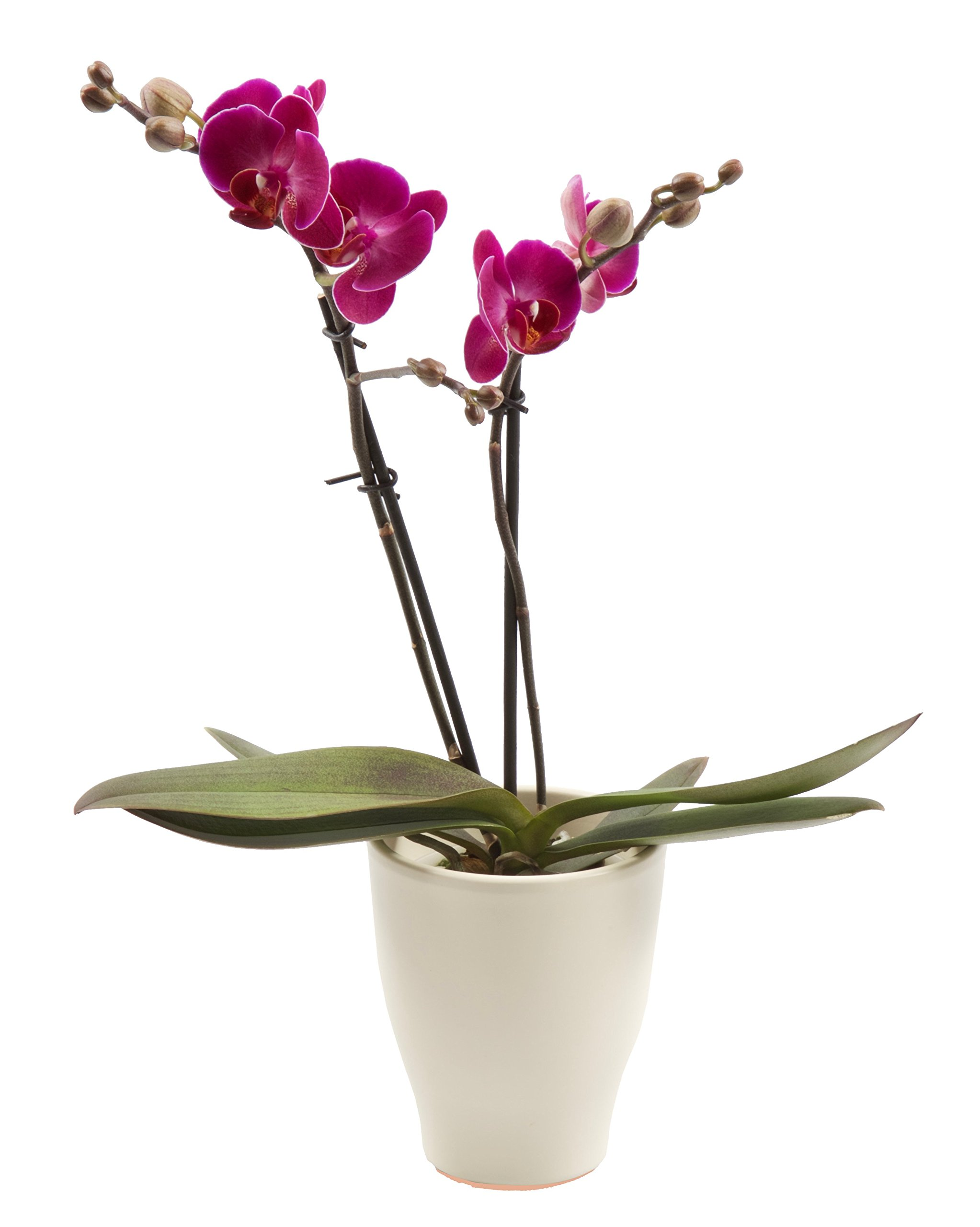 Color Orchids Live Blooming Double Stem Phalaenopsis Orchid Plant in Ceramic Pot, 15''-20'' Tall, Purple Blooms