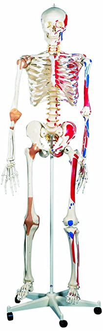 3B Scientific A13 Luxus-Skelett Sam: Amazon.de: Gewerbe, Industrie ...