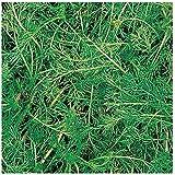 Burpee Roman Chamomile Seeds 100 seeds